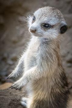 Baby Meerkat Closeup by helenehoffman