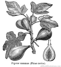 Google Image Result for http://www.oldbookillustrations.com/gallery/plants/common-fig.jpg