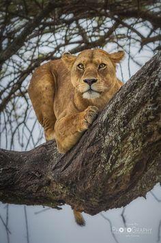 Une lionne qui se détend, ça existe...