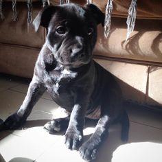 Staffordshire Bull Terrier @apolo.athena_bbstaffy