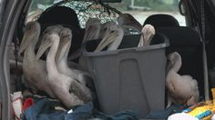 Nearly 50 baby pelicans were rescued from the coastline in Lanark Village Fla., just west of Apalachicola, on Tuesday, according to iWitness contributor Carrabelle Jonny.     Volunteers waded through thick seaweed in driving wind and rain for three days after the tidal surge from Tropical Storm Debby washed the baby pelicans from one of only two Florida Panhandle nesting sites, weather.com contributor said.