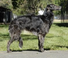 Silken Windhound-new breed to me. Borzoi Dog, Whippets, Doggies, Dogs And Puppies, Silken Windhound, Unique Dog Breeds, Different Dogs, Greyhounds, Pitbull Terrier
