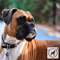 @rae6383 We love #boxers @boxergram. This pup is too #cute not to feature…