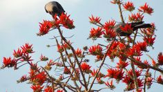 ISLAMABAD: Apr12 – Crows feeding themselves on a tree bearing spring flowers in the capital on Thursday.