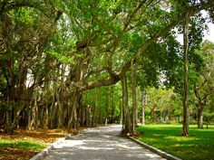 Banyan Trees at the Ringling Museum in Sarasota, FL