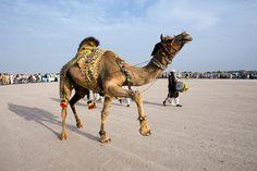 A camel as an art object