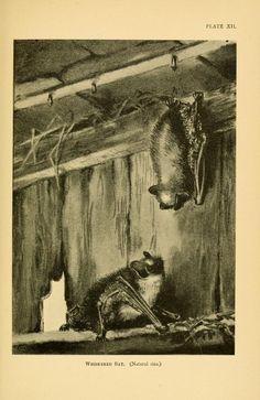 Whiskered bat, A History of British Mammals, Gerald Edwin Hamilton, Vol. I (Bats), 1910.