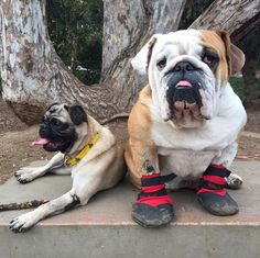 And then we have these two: Eames the three-legged pug and Fletcher in his Badass Booties ❤️ #roadogs