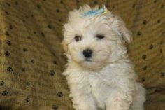 Pin By Network34com On Maltipoo Puppies For Sale Pinterest