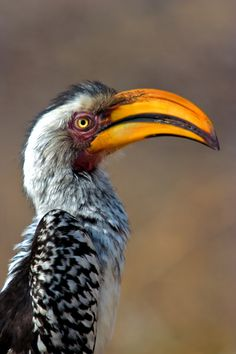 Southern Yellowbilled Hornbill - Tockus leucomelas.  This is a true resident of the southern African bushveld.  In the Kruger Park, they're seen so frequently, they are almost like chickens. The call is a raucus' tok tok tok tok tok tokatokatokatoka'.  Seen. Potograph from the Kruger Park site.