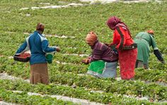 Harvesting of strawberries in the wine country of South Africa is a colorful sight. Photography by MajorMultimedia.com