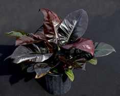 Philodendron Black Cardinal is an excellent ornamental indoor plant. It has beautiful glossy bronze and blackish green color leaves with Cool Plants, Air Plants, Indoor Plants, Unusual Plants, Indoor Garden, Long Blooming Perennials, Sun Perennials, Indoor Bonsai Tree, Plants For Sale Online