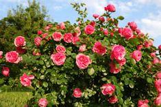 Blühender Rosenstrauch