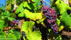 Red Grapes from Ischia