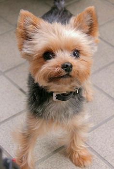 Yorkies, Yorkie Puppy, Cute Puppies, Cute Dogs, Dogs And Puppies, Poodle Puppies, Yorkie Haircuts, Yorshire Terrier, Top Dog Breeds