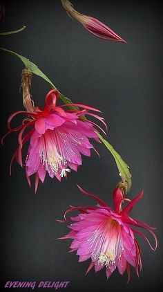 A nice setting of a very beautiful hybrid. large flowers.