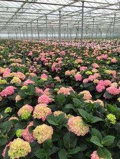 #Hydrangea #Hortensia #Grower #Sonneveld; Available at www.barendsen.nl