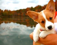 welsh pembroke corgi...puppy