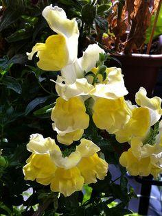 Yellow Dragons - 164/366