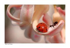 The ant and the lady-bug :): Photo by Photographer Ellen van Deelen - photo.net