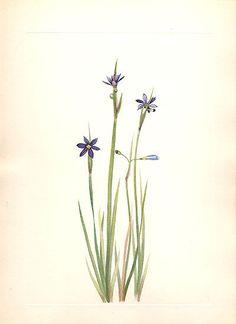 Mary Walcott 1925 Western California Blue-Eyed Grass