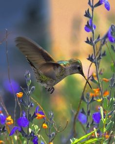 Hummingbird-I watched this all summer.  I even had this very flower and they visited daily.  Neat!