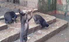 """Help from Indonesia - Shocking videos from the """"Horror Zoo"""" - Starving Bears"""