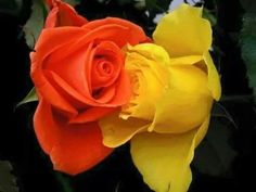 DesertRose,;,yellow and orange,;,