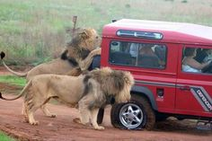 When animals attack. #LandRover #Defender #Lions
