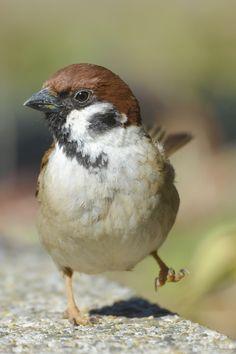 春ってついつい浮かれちゃうよねー♪ #スズメ #Sparrows #鳥 #Birds #Season #東京 #写真好きな人と繋がりたい #気分