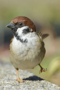 House Sparrow. More   ..rh