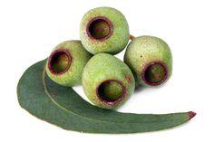Gumnuts.