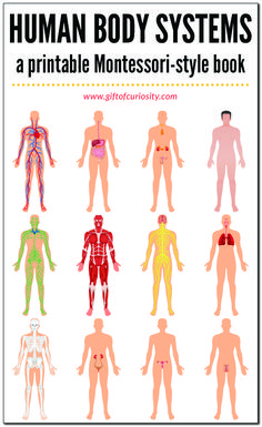 This printable, Montessori-style book about the systems of the human body features 12 different systems (skeletal system, muscular system, etc. Human Body Unit, Human Body Systems, Endocrine System, Respiratory System, Circulatory System For Kids, Physical Education Games, Health Education, Science Education, Science Activities For Kids