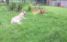 Rescued White Tiger and Lion Have a Blast Chilling by the Pool (VIDEO)