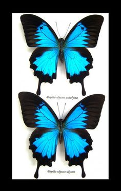 Framed Butterfly Art -Papilo Ulysses Butterfly 2