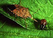 Podisus maculiventris