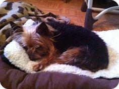 Hartford, CT - Yorkie, Yorkshire Terrier Mix. Meet James, a dog for adoption. http://www.adoptapet.com/pet/11630349-hartford-connecticut-yorkie-yorkshire-terrier-mix