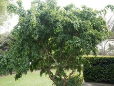 The Robinia Lace Lady Twisty Baby