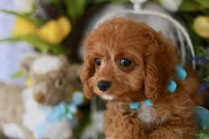 Foxglove Farm is the top breeder of Cavachon puppies. Visit the site to learn more and find a new puppy friend. Cavachon Puppies, Cavapoo, New Puppy, Puppies For Sale, Cute Pictures, Teddy Bear, Dogs, Animals, Animales