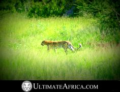 African Safari , Leopard @ Chitabe , #africa #safari #african safari #africansafari #Chitabe #Ultimateafrica #animal #animals #Botswana #okavango #okavango delta #okavangodelta #holiday #vacation #luxurysafari #luxury safari #wildlife #nature #leopard #leopards #cat #cats #grass #stalking #predator