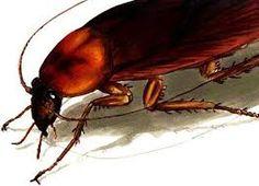 Cockroach burrows into sleeping man's ear.