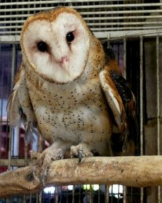 Athena, the gentle, blind Barn Owl at the East Maui Animal Refuge (Boo Boo Zoo)