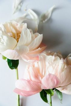 Fading blush blooms.
