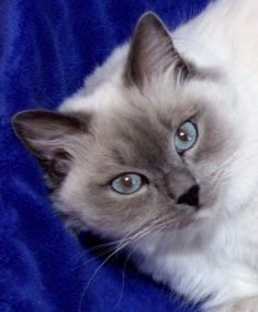 Looks like Tipper! Ragdoll Kittens For Sale, Kittens And Puppies, Cute Cats And Kittens, I Love Cats, Crazy Cats, Kittens Cutest, Tabby Cats, Funny Kittens, Bengal Cats