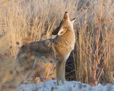 Coyotes outside our window tonight; A yip, a howl in the veiled moonlight. The sound of a few then the chorus of more; My dog unnoticing, asleep on the floor. The harmony fades, the pack moves on; A memory paled in the light of the sun.   - Cynthia Menard