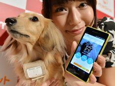 """A operadora japonesa NTT Docomo lançou uma coleira que monitora os animais de estimação e disponibiliza informações de localização e saúde no smartphone ou tablet do seu dono. O """"Petfit Tag"""" pesa 30 gramas e traz captadores, um receptor 3G, um adaptador bluetooth e um chip de localização GPS. Leia mais no G1 Tecnologia."""
