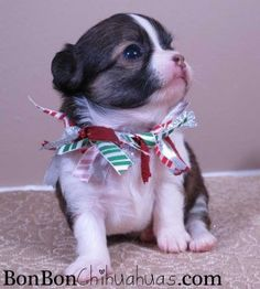 old Chihuahua puppy - Awwww, little baby Chihuahua Puppies For Sale, Chihuahua Love, Little Puppies, Baby Puppies, Little Dogs, Cute Puppies, Dogs And Puppies, Cute Little Animals, Adorable Animals