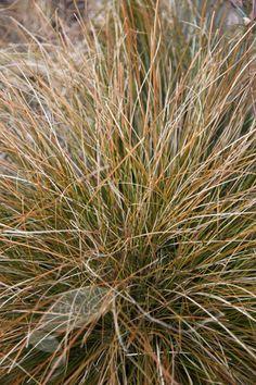 Carex testacea: