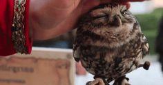 cute owl pet adorable owl gif