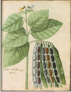 Hortulus Monheimensis, 1615, Bayrische Staatsbibliothek
